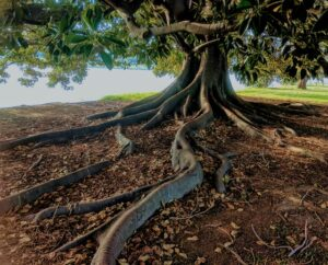 Tree roots sprawling in the ground